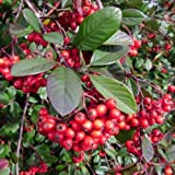 Seeds PACAKGE ONLY NOT Plants: Cotoneaster Lacteus - Superb WinterEvergreen Shrub in cm Seed