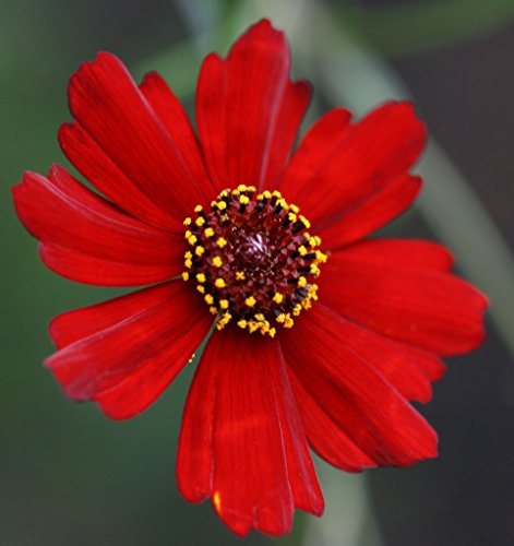 - coreopsis, PLAINS, DWARF RED flower, 1350 seeds! GroCo