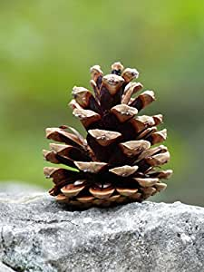"50 Pitch Pine Cones, Small Size Cones, 1.5-2.5"", Perfect for Crafting with a Natural Touch, Wedding Accents and Holiday Ornaments"