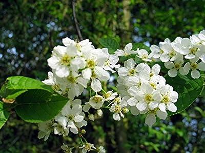 10 Seeds Prunus padus Bird Cherry Ornamental Tree