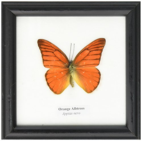 FRAMED REAL BEAUTIFUL ORANGE ALBATROSS BUTTERFLY DISPLAY INSECT TAXIDERMY 5X5X1