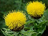 Centaurea Seeds Macrocephala Lemon 50 Seeds