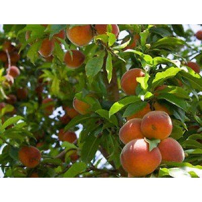 Seedusa trtd2329 7 seeds dwarf nemaguard peach fruit tree for Fruit trees for sale