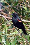 Red Winged Blackbird Journal: 150 Page Lined Notebook/Diary
