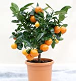 VERY RARE Miniature Calamondin Orange tree indoors outdoors 10 seeds