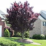 Crimson King Maple - 6-7 ft.