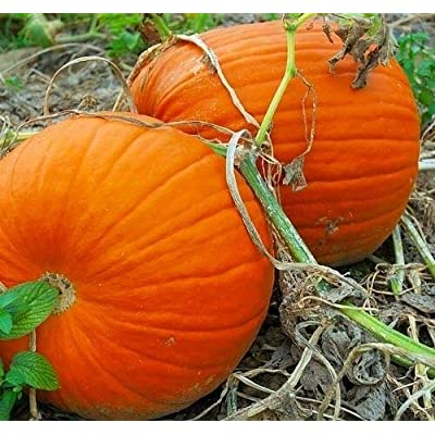 Grandiosy Pumpkin Large Heirloom Carving Flat Bottoms & Thick Flesh : Garden & Outdoor