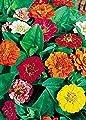 David's Garden Seeds Flower Zinnia Thumbelina Blend LZ3421 (Multi) 100 Open Pollinated Seeds