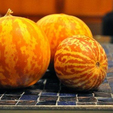 rare-tigger-melon-10-seeds-heirloom-delicious-easy-by-hirts-gardens