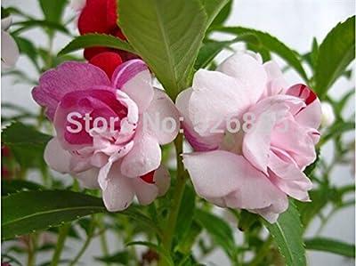 potted flower seeds-multicolor impatiens, Impatiens seeds, colorful impatiens - 60 particles