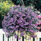 Cicitar Garden - 20pcs Rare Fragrant Scaevola Mix Award Winner, Easy to Grow, Exotic Flower Seeds Hardy Perennial Garden
