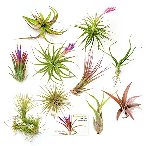 The Drunken Gnome AIR PLANTS - ASSORTED VARIETY PACK - 10 air purifying flowering tillandsia for terrarium, fairy garden starter kit, home office, indoor outdoor, corporate gift (10 PACK)