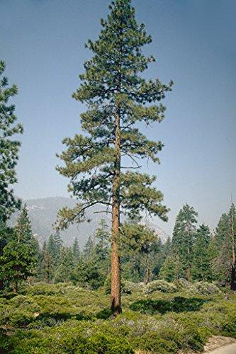 amazon com 50 jeffrey pine tree seeds pinus jeffreyi garden