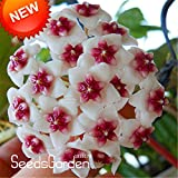 Kasuki Best-Selling!Green Hoya Bonsai, Potted Plantas, Hoya Carnosa Flower Flores Garden Plants DIY Home Garden 100 Particles/Pack,#DJ - (Color: 15)