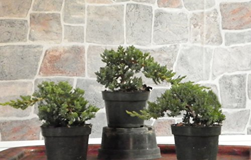 Hot Sale! 3 Large Japanese Dwarf Juniper Pre Bonsai Trees by Polar Bear's Garden