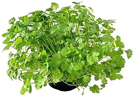 Creative Farmer Coriander/Cilantro/Chinese Parsley/Dhania Herbs Seeds -500  Seeds: Amazon.in: Garden & Outdoors