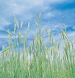 David's Garden Seeds Grain Crop Winter Rye (Common) D72702PO (Brown) Organic One Pound Package