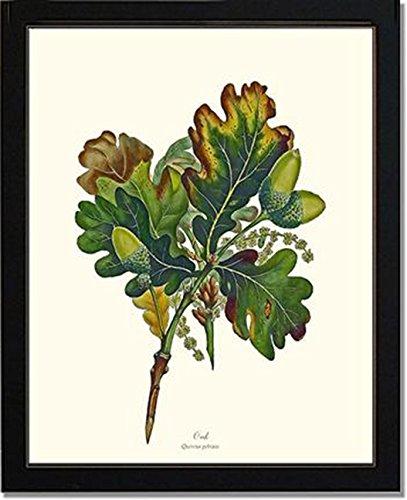 Vintage Botanical Art Print: Oak Tree (Oak Tree Vintage)