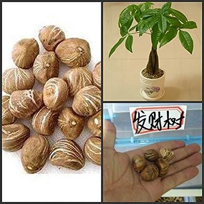 1 semillas / pack trenza pachir semillas del árbol de dinero semillas de árboles bonsai semillas de árboles grandes de dinero: Amazon.es: Jardín