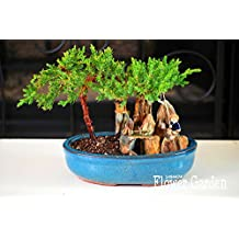 Best-Selling!10 Pieces/Pack juniper bonsai tree potted flowers office bonsai purify the air absorb harmful gases,#Q9VSED