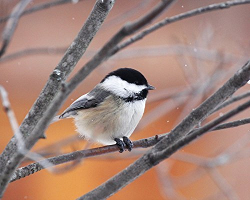 Chickadee bird photo print, nature art photography, paper or canvas picture, 5x7 to 24x36