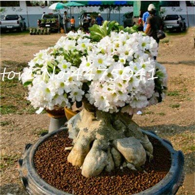 Best Quality - Bonsai - Bonsai Desert Rose Bonsai Flower Ornamental Plants Balcony Bonsai Potted Flowers Drawf Adenium Obesum Bonsai Tree -1 Particles - by SeedWorld - 1 PCs: Industrial & Scientific