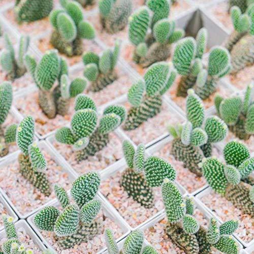 (Pagacat 100Pcs Mini Cactus Flower Seeds (Astrophytum) Rare Succulent Plants Seeds Garden Flowers)