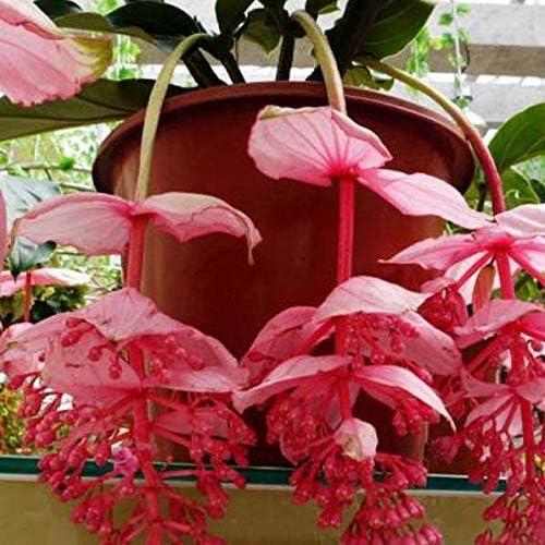 DaFFeng ?100Pcs Pack Medinilla Magnifica Graines De Fleurs Bonsai Plantes Pour La Maison Jardin D/¨/¦cor