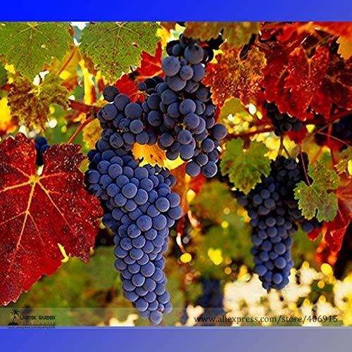 Go Garden BELLFARM Bonsai Rare French Cabernet Sauvignon Grape Bush Organic Grape Wine Tasty Fruit High Germination 15pcs/Pack ()