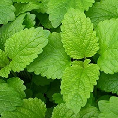 100+ Heirloom Seeds of Melissa officinalis - Lemon Balm. Perennial Herb with Uplifting Lemon Aroma used since Ancient times for Culinary and Medicinal purposes.