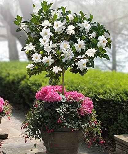 AMERICAN PLANT EXCHANGE Miami Supreme Gardenia Tree Live Plant 3 Gallon Enorm...