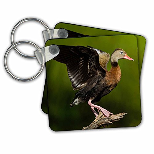 Brownsville Key (Danita Delimont - Ducks - Black bellied Whistling Duck adult perched in tree - Key Chains - set of 2 Key Chains (kc_279449_1))