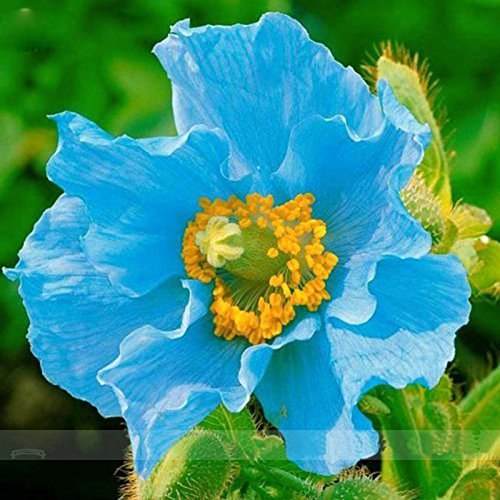 Rare Persian Blue Poppy Flower Seeds DIY Home Garden Bonsai Plants Seeds Easy To Grow Pots (Poppy Garden Grow Pot)
