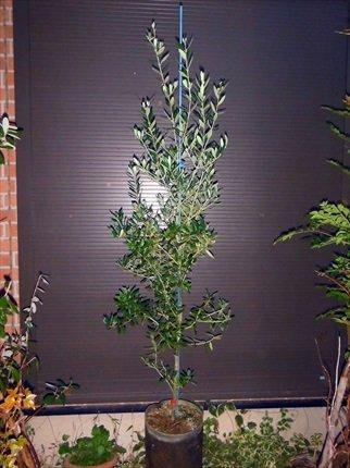オリーブ苗木 チプレッシーノ 全長200cm前後 常緑樹 B01HQG1OD2