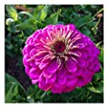 David S Garden Seeds Flower Zinnia Giant Dahlia Flowered Violet Lb3658 Purple 100 Non Gmo Open Pollinated Seeds