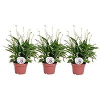 BOTANICLY | Pianta fiorita | Spathiphyllum Pearl Cupido | 35 cm | Set di 3 piante