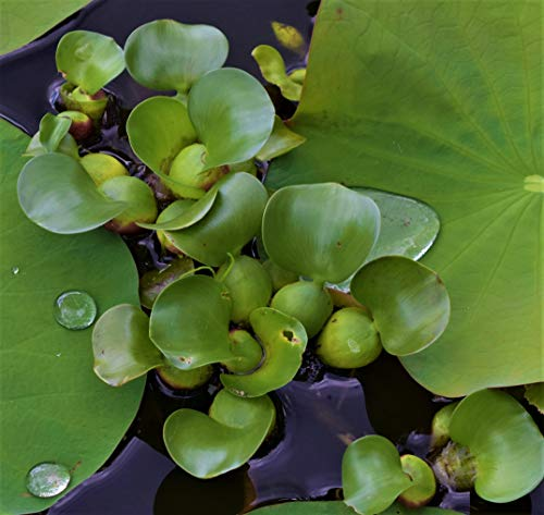 Bestselling Aquatic Plants