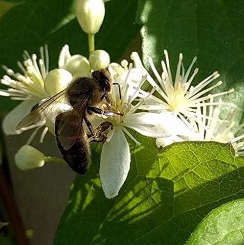 Portal Cool Clematis virginiana | Demonios de zurcir Agujas | VÃrgenes Bower | 10_Seeds: Amazon.es: Jardín