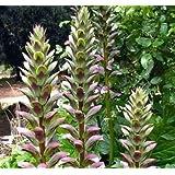 Plant World Seeds - Acanthus Mollis Seeds