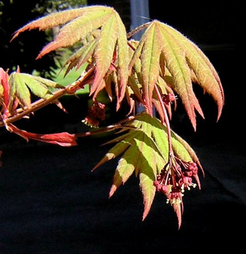 Korean Maple - Tolerates Extreme Cold, Surviving In Climates Where Japanese Maples Cannot, Hardy to -40F - 2 Year Live Plant by Japanese Maples and Evergreens (Image #4)