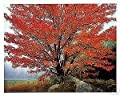Acer rubrum OCTOBER GLORY RED MAPLE TREE Seeds!