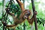 Posterazzi Poster Print Collection Sumatran Orangutan Six Month Old Baby Playing in Tree North Sumatra Indonesia Suzi Eszterhas, (12 x 18), Multicolored