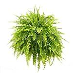 Costa-Farms-WaterWick-Self-Watering-Heart-Design-Planter-w-Premium-Exotic-Angel-Live-Indoor-Love-Fern-Plant