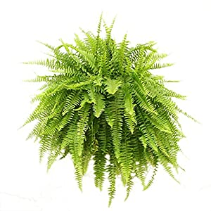 Costa Farms WaterWick Self-Watering Heart Design Planter w/ Premium Exotic Angel Live Indoor Love Fern Plant 2