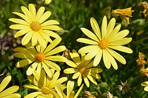Home Comforts Blooming Sunshine Yellow Daisies Vivid Imagery Laminated Poster Print 24 x 36