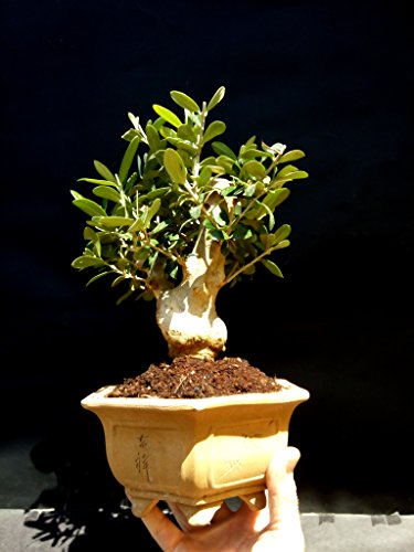 Olive tree - Bonsai - approximately 20 years old by mini bonsai (Image #5)