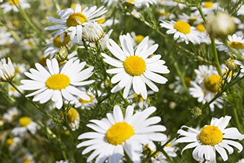 Common German Chamomile Flower/Herb Seeds, 1000+ Premium Heirloom Seed, 97% Germination Rates, (Isla's Garden Seeds), Non GMO (Chamomile Roman Seed)