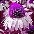 New Echinacea White Petals Purple Centre Perennial Flower 30+ Seeds
