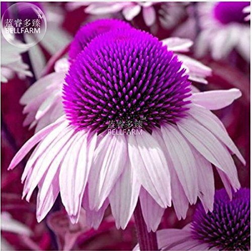 (New Echinacea White Petals Purple Centre Perennial Flower 30+ Seeds)