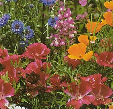 Wildflower Seeds - 1000+ Partial Shade